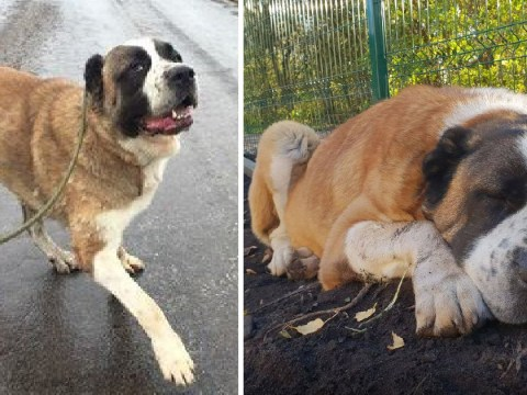 Terrified dog scared to death after crawling under rescue centre to escape fireworks