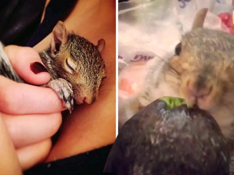 Thumbelina the tiny squirrel loves watching TV and being treated to face masks