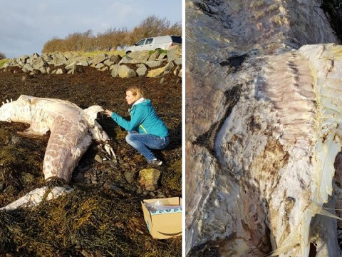 Huge basking shark washes up on beach in Northern Ireland