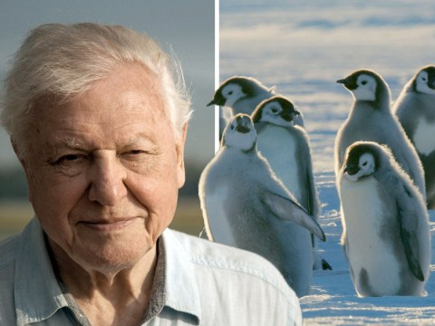 David Attenborough's Dynasties crew broke his rule of not interfering with animals