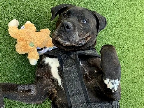 Daisy is the the 'unluckiest rescue dog' who has spent 100 days at Battersea as no one will adopt her