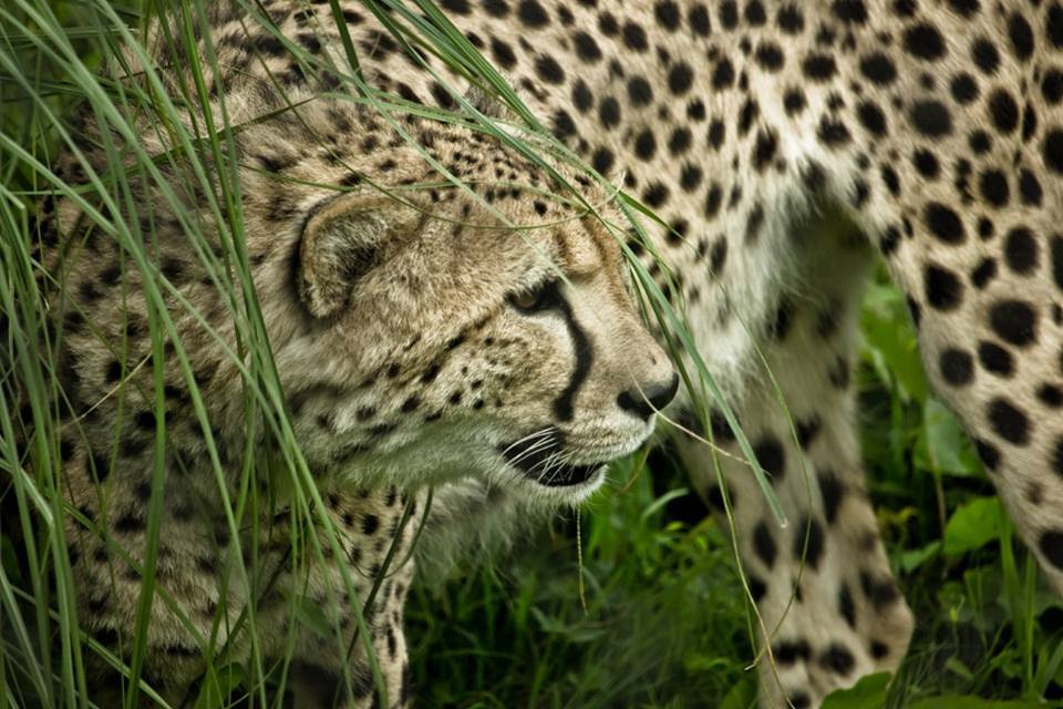 Zoo bosses are in trouble for failing to report that a cheetah had escaped from its enclosure at Howletts Zoo in Kent. Two deer died after the cheetah being hand-raised by Howletts boss Damian Aspinall chased down a herd of deer. The big cat - a male named Saba - squeezed through a gap in his perimeter fencing to enter the neighbouring deer park, which is only separated from public walkways by an 8ft fence.