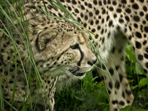 Cheetah escapes from Kent zoo and kills two deer