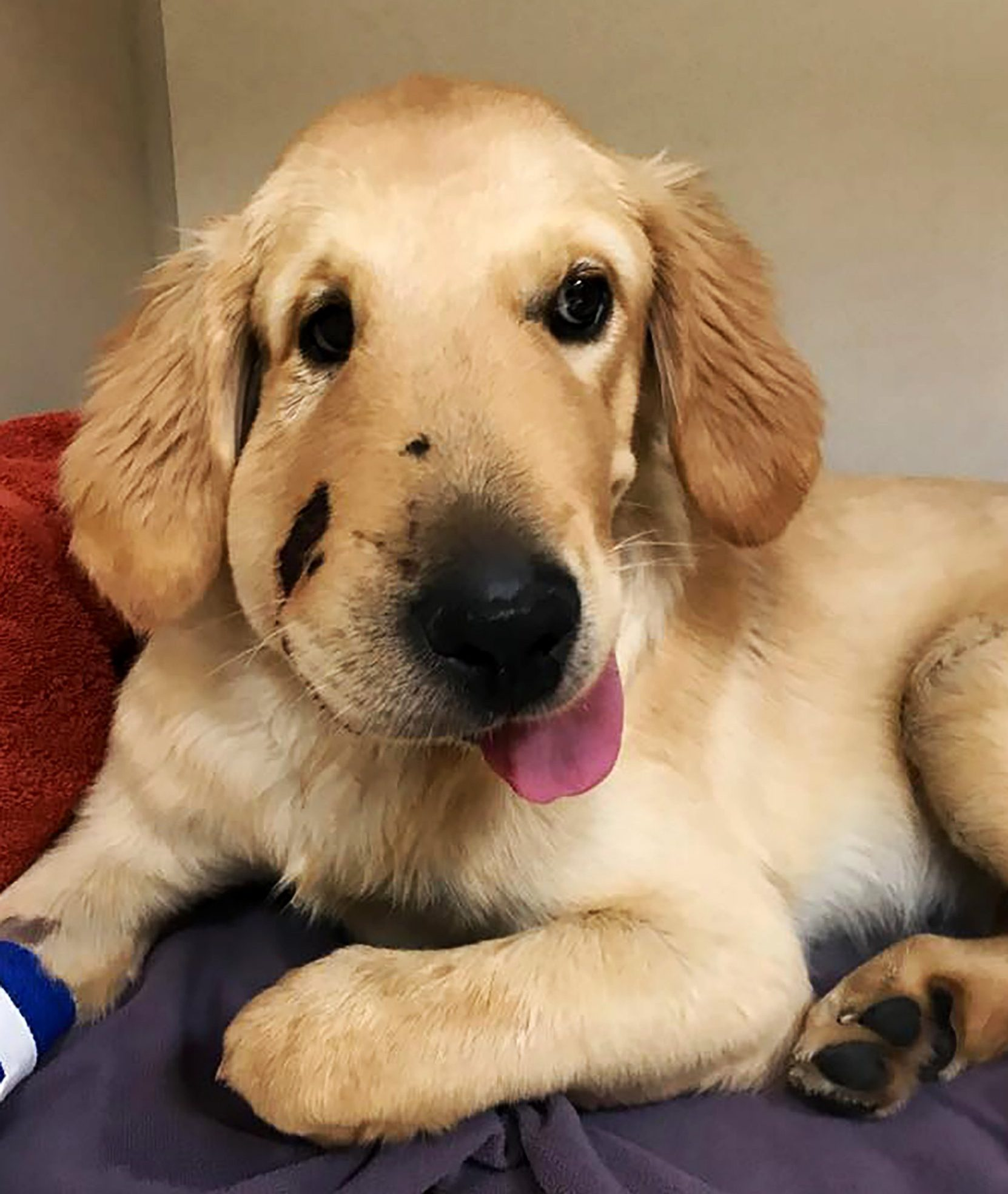 Pics From Paula Godwin/Caters News - (Pictured: Todd, six months old, after attacked by snake.Anthem,Arizona,USA) -A doting puppy who almost died after getting bitten by a rattlesnake to save his owners life has won a dog of the year prize. Paula Godwin, 44, was out for a walk with her six-month-old pooch, Todd, in June this year when he noticed something moving by her leg. The curious golden retriever quickly darted for the rattlesnake to shield his owner from its venomous bite, but it turned and bit him on the face. Paula, from Anthem, Arizona, grabbed Todd and rushed him to a veterinary hospital within 10 minutes, where he was treated with anti-venom. SEE CATERS
