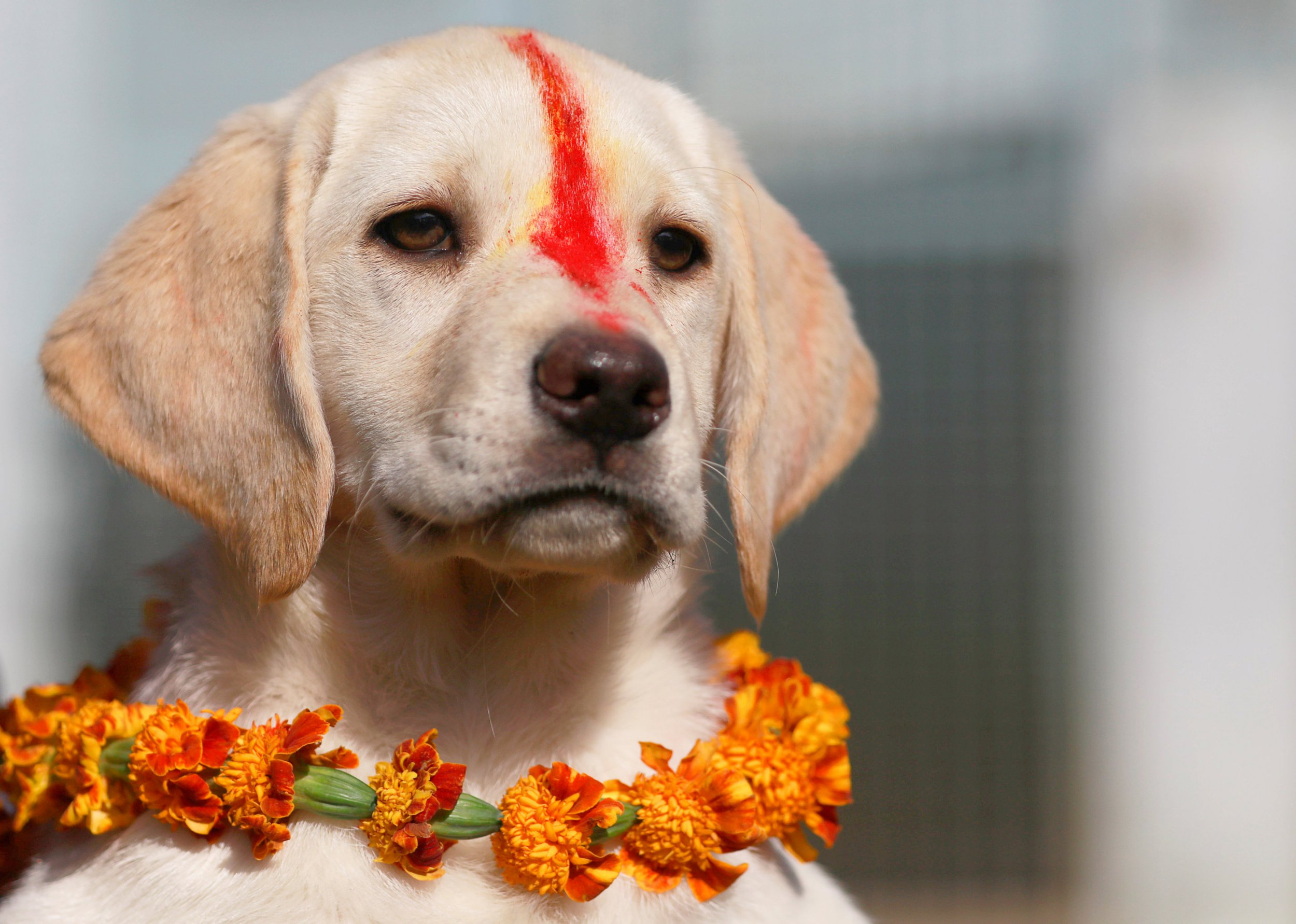 "A puppy with ""Sindoor"" vermillion powder on its forehead and a garland is pictured after a boy offered prayers during the dog festival as part of Tihar, celebrations also called Diwali, in Kathmandu, Nepal November 6, 2018. REUTERS/Navesh Chitrakar"