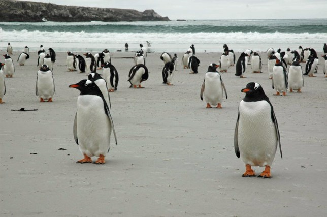 PICS BY PEBBLE ISLAND / CATERS NEWS - (PICTURED: Gentoo penguins - The future owner could be sharing the island with five different penguin species, birds, sealions, cattle, sheep and more) - Live with five different species of penguin in this historic Falklands isle that is up for sale for the first time in nearly 150 years. Located in the upper north west corner, the third largest island offshore island in the archipelago, this small snippet of peaceful paradise could be yours. Named after the small attractive and multicoloured pebbles that once lined its beaches, Pebble Island is also home to 42 breeding bird species, Commersons dolphins, sealions, whales and 6,000 sheep. It stretches 10,622 hectares - 19 miles long by four miles wide at its widest has three peaks and four miles of white sandy beaches. - SEE CATERS COPY