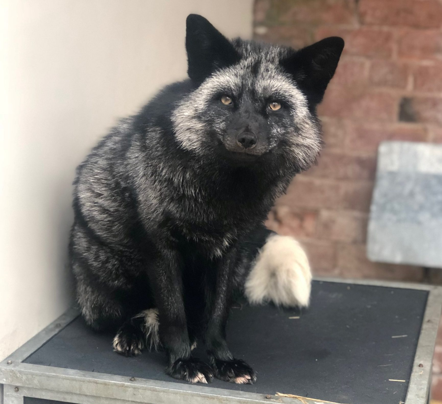 Rare admission at RSPCA centre after silver fox found in Cheshire garden. See SWNS story SWBRfox; The impressive-looking animal was roaming in a garden in Dunnocksfold Road, Alsager, shocking the homeowner. Thankfully a former RSPCA inspector who lived nearby had the equipment and the knowledge to safely catch the animal, which was then taken to the charity???s Stapeley Grange Wildlife Centre in nearby Nantwich. Amanda Lovett, who worked for the charity before setting up Alsager-based cattery Mere Moggies Boarding, said: ???I was alerted to a post on a local Facebook group and it would seem the fox had been in the garden for most of the day. This was on Saturday, one of the biggest nights for fireworks, and we knew we had to get the fox to safety.