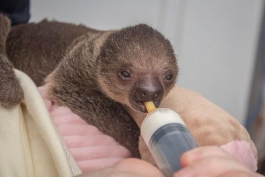 Brevard Zoo Baby Sloth