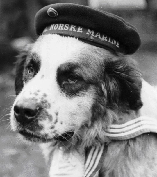 PDSA undated handout photo of Bamse, the canine mascot of the Norwegian Forces during WWII who is to receive the PDSA Gold Medal - the 'animals' George Cross' - for saving the lives of two crew members of his ship, Norwegian Navy minesweeper, The Thorodd. PRESS ASSOCIATION Photo. Issue date: Friday July 21 2006. On Saturday 22 July 2006, the 62nd anniversary of the day the brave St. Bernard passed away, PDSA Chairman Freddie Bircher will present the Medal to Vigdis Hafto, daughter of The Thorodd's then captain, Commander Erling Hafto, and Bamse's original owner. The special ceremony takes place at the Scottish National Trust House of Dun in Montrose, the Scottish town where Bamse's grave has pride of place. Photo credit should read: PDSA/PA