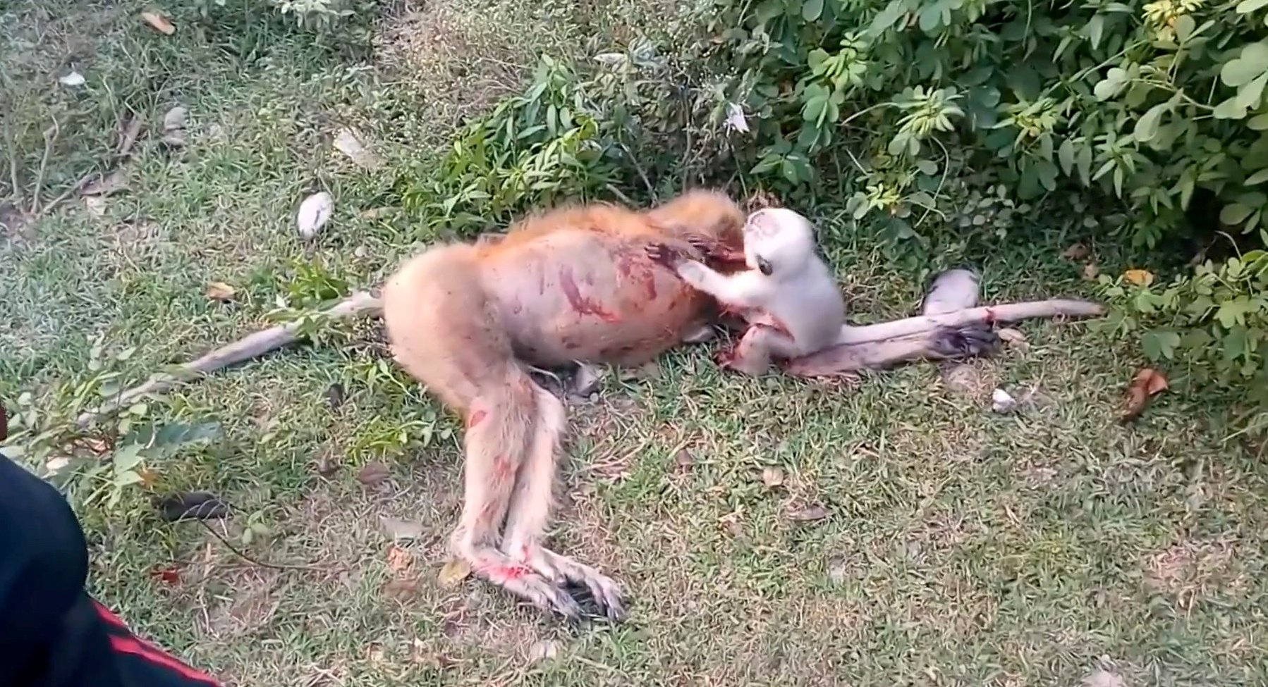Video grab of the TRAGIC moment a baby monkey was found crying next to the body of its dead mother on the Bareily-Badayun road in Uttar Pradesh, India.See SWNS story SWOCmonkeyThis is the heartbreaking moment a tiny baby monkey was discovered crying over its dead mother's body.The adult monkey was knocked down while it was crossing the road and later the baby refused to leave its side.The inconsolable animal can be heard crying and screaming while hugging the mum to wake it up, on the Bareily-Badayun road in Uttar Pradesh, India.In a video, a man can be heard saying: ?The mother is dead, what to do with the baby?.