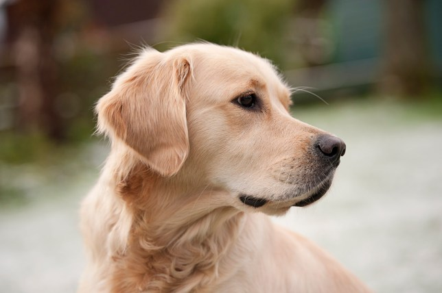 Dogs will act instinctively to protect their owners (Credits: Getty Images)