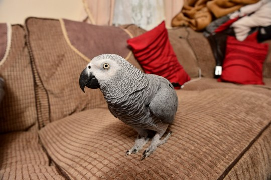 Retired steel construction worker Stephen Dockerty, 63, from Daventry, Northants, with his mischievous African Grey parrot Jazz. See SWNS story SWMDparrot. Firefighters who raced to a suspected house blaze during an emergency call-out were stunned to find a PARROT impersonating a smoke alarm. Steve Dockerty, 63, was left baffled when fire crews banged on his door investigating the source of a blaze at his property at around 3.45pm on Wednesday (14/11). But it soon became apparent the cause of the emergency call was his cheeky pet African grey parrot Jazz. The 17-year-old bird had sparked panic with his perfect impression of the smoke alarm at Steve's property on Windsor Close, in Daventry, Northants. Staff at the alarm company had called the homeowner after the smoke alarm was triggered for no apparent reason. Operators heard the bird in the background and alerted Northampton Fire and Rescue Service who rushed to the scene.