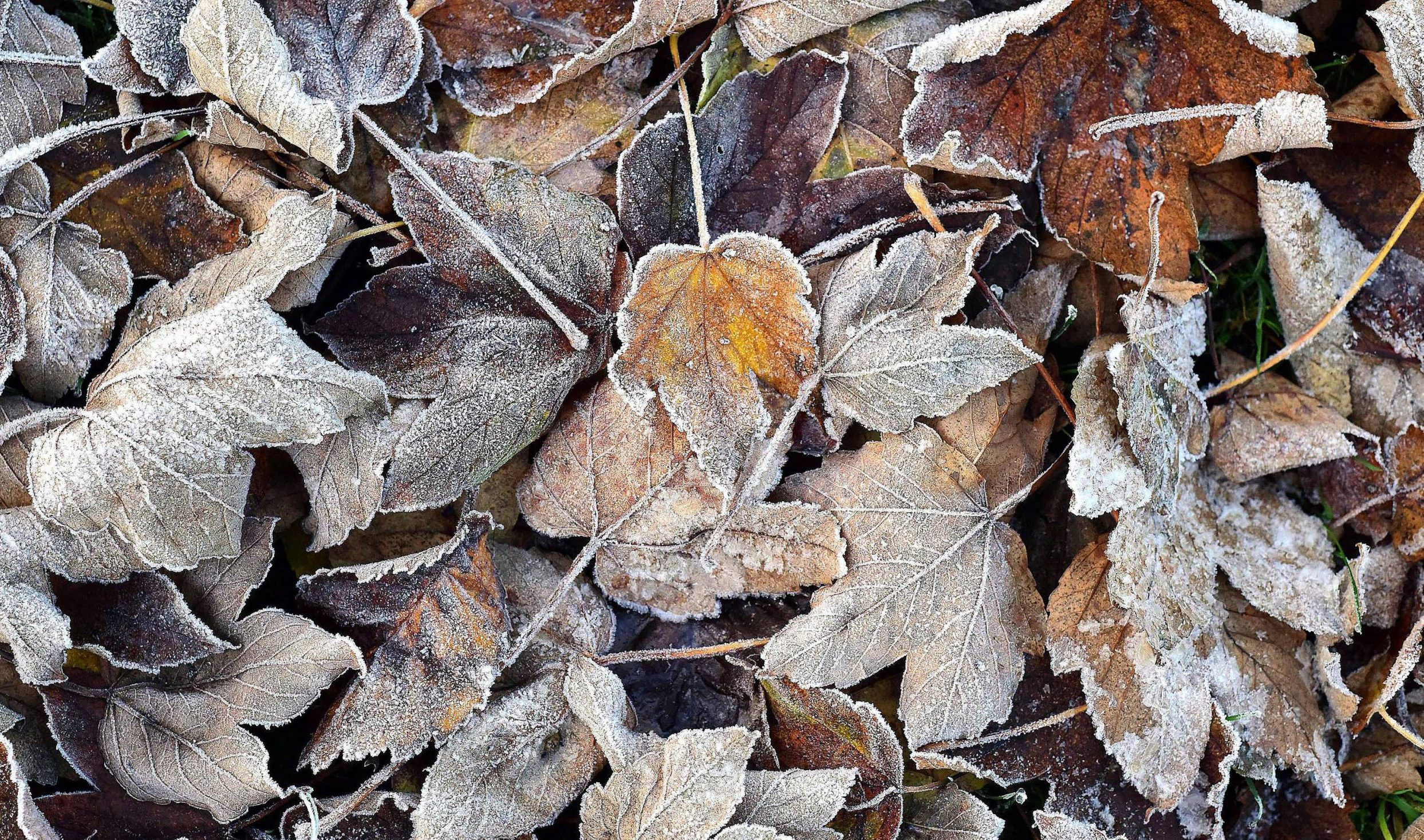 Dated: 18/11/2018 AUTUMN TO WINTER ... Frost covered fallen leaves in Darlington, County Durham today (SUN) with forecasters predicting a blast of winter weather to hit the UK next week with snow and severe frosts expected. See weather round-up