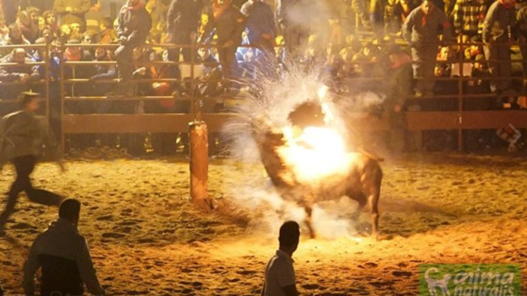 Bull set on fire by locals during Spanish festival   Metro News