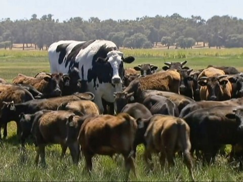 A giant cow called Knickers is so large it actually saved his life