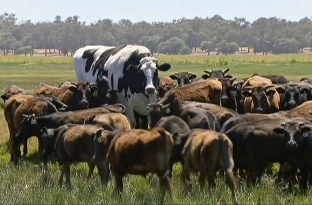 """In this image made from video taken Nov. 15, 2018, Knickers the steer, center back, is in paddock with cow herd in Lake Preston, Australia. A enormous steer in the state of Western Australia has avoided the abattoirs by being too big. The 194 centimeters-tall bovine, dubbed """"Knickers"""", is believed to be the tallest in the country and weighs about 1.4 tons, local media reported. (Channel 7's Today Tonight via AP)"""