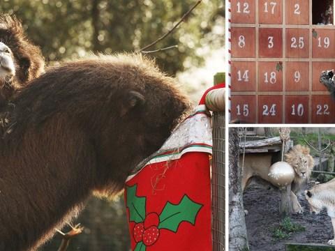 London Zoo animals enjoy advent calendars, stockings and Christmas puddings