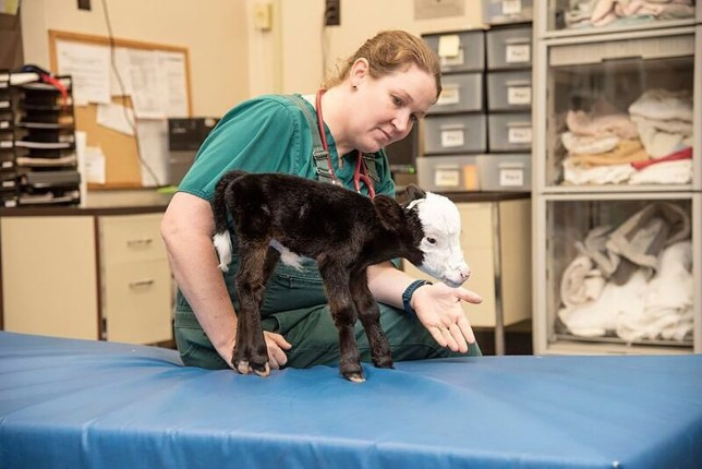 METRO GRAB FACEBOOK Meet Lil' Bill, a tiny calf who is roughly the size of a cat, per the Epoch Times. The tiny bull was lives at the Mississippi State University College of Veterinary Medicine, where he's cared for by doctors, researchers, and students. https://www.facebook.com/MSUCVM1/photos/a.104552903791/10156897791493792/?type=3&theater