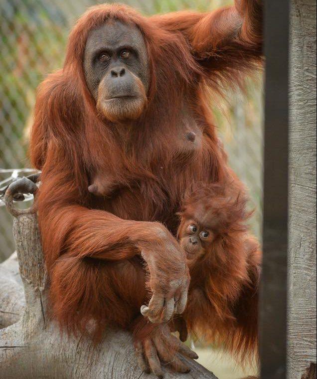 Chester Zoo Orangutan