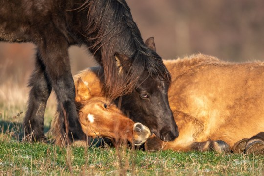 A poorly horse who had collapsed on the ground was helped up by other horses when they stimulated it's legs by biting them - in the German state of Rhineland-Palatinate. See SWNS copy SWCAhorse: This is the heartwarming moment wild horses BITE a poorly young stallion in a seemingly desperate attempt to revive him after he had collapsed on the ground. The rare spectacle was witnessed in the Westerwald mountain range in the German state of Rhineland-Palatinate.Ingo Gerlach, 65, was photographing the herd of 18 Icelandic stallions when he noticed one of the horses had become isolated from the rest. The two-year-old dun - so called because of its tan-coloured coat - seemed to be unwell, wobbling on its legs.