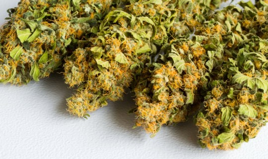 Macro close up of a dried Cannabis Medical Marijuana on a white background