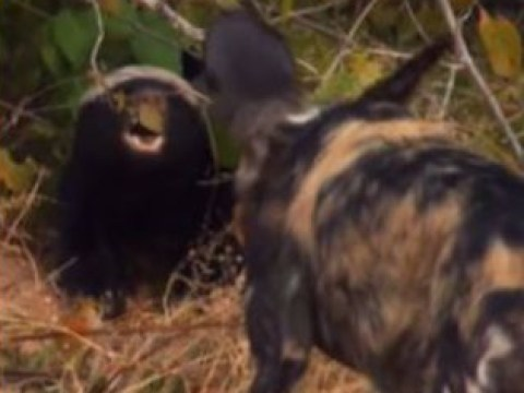 Tense Dynasties scene sees Painted Wolves go head-to-head with honey badgers to protect their pups
