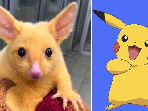 Amazingly rare mutated gold possum dubbed 'real-life Pikachu'