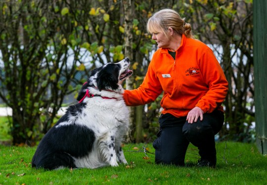 """Ruth Rickard,51, with Bopper The Whopper, Britain's Fattest Dog', at at the Gables Farm Dogs and Cats Home in Plymouth, Devon.November 21 2018. See SWNS story SWBLwhopper. An animal rescue centre is looking after Britain's fattest DOG named ''Big Bopper The Whopper'' - so massive he's too large for a kennel.The plump pooch weighed a staggering 50kg (7st) when he was handed into the shelter by the RSPCA when his owner got seriously ill.Staff at Gables Farm Dogs and Cats said they were stunned by Bopper's hefty frame and have now put him on a strict diet aimed at shredding almost half his body weight.The Collie is around 10kg heavier than """"Hattie the Fattie"""", who hit the headlines earlier this year after being rescued by the same centre in Plymouth, Devon."""