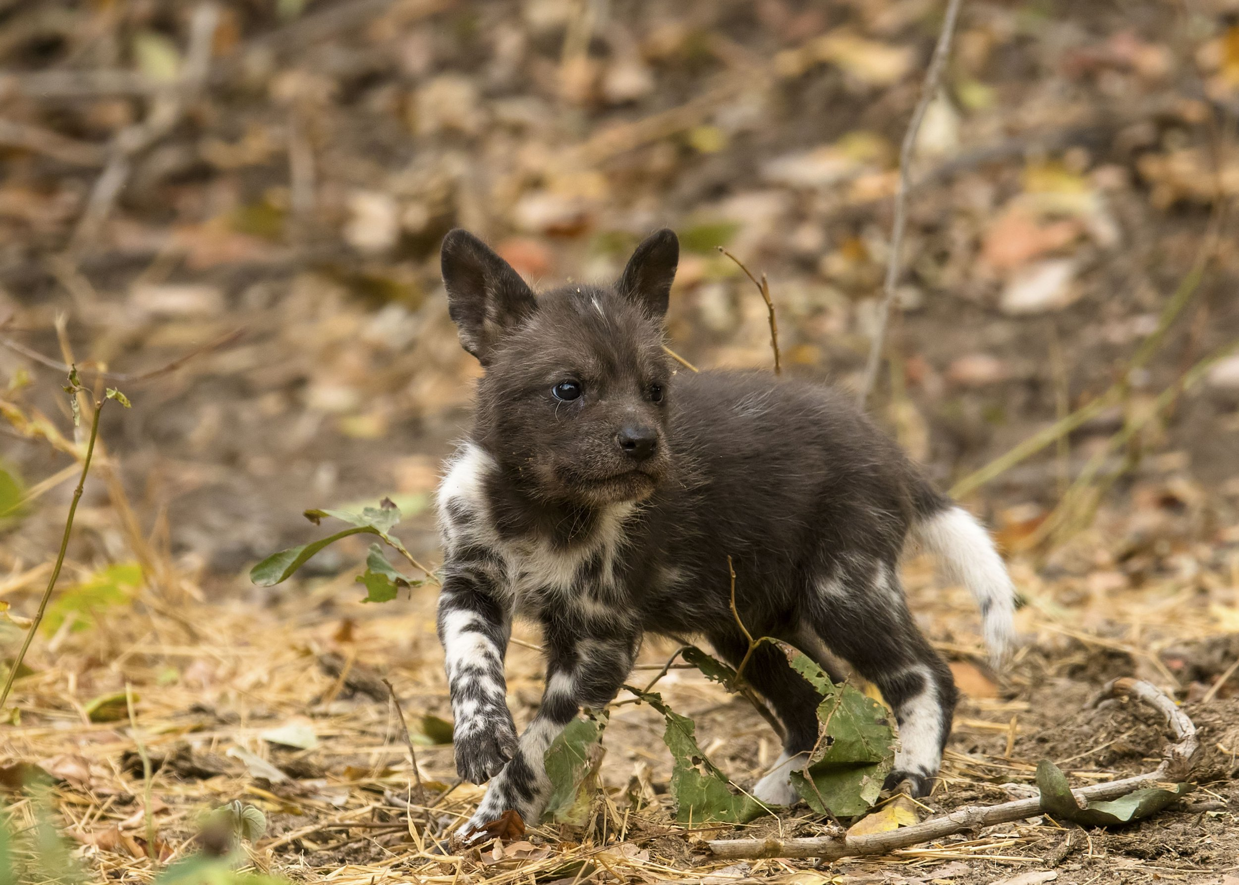 **PLEASE NOTE MANDATORY BYLINE** PIC BY Nicholas Dyer / CATERS NEWS (PICTURED a young pup)These rarely captured scenes show a pack of painted wolves the same African wild dogs set to feature this Sunday (2nd) on David Attenboroughs Dynasties hunting baboons. The incredible photographs show how the animals, Africas most efficient predator, have changed their diet and began to hunt baboons for the first time something never before witnessed by experts. Wildlife photographer Nicholas Dyer has been following the animals through the remote Mana Pools of Zimbabwe on foot for the last six years. His images show two packs hunting baboons on the banks of the Zambezi river, reaching speeds of 46mph to bring down their prey.