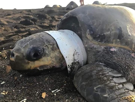 Pic Shows: The turtle was found with plastic around its neck; This is the turtle which has been rescued with a plastic cup stuck around its neck. Workers of the Ministry of Environment and Energy found the olive ridley sea turtle (Lepidochelys olivacea) with a plastic cup stuck around its neck when it arrived at a beach in the Ostioal wildlife refuge in the northwestern Costa Rican province of Guanacaste. Images show the turtle with the white plastic cup wrapped around its neck with its head poking out. According to official sources, officers spotted the turtle during a patrol and then worked to free it from the cup. A video shows workers using a pair of cutters to break the cup and release the turtle from it. The Costa Rican Ministry of Health reports that 11 percent of daily waste in plastic and research from the Economical World Forum and the Ellen MacArthur Foundation states that at current levels of increasing dumping there will be more plastic that fish in the ocean by 2050. Local media report that coastguards in Guanacaste recently rescued two turtles stuck in fishing lines and returned them back to the ocean. Local media report the government has implemented some measures to eliminate the use of plastic and other polluting waste which is sent directly to the sea and could affect the diversity of species which end up trapped in the rubbish. Costa Rica is home to more than 500,000??species, which represents nearly four percent of the total species estimated worldwide. Olive ridley sea turtles are the smallest sea turtles in the world and are listed as 'vulnerable' by the International Union for Conservation of Nature (IUCN). Netizen ???Mar Anton??? wrote: It is good not to use plastic, but this is only part of the problem, the other issue is dirty people throwing waste wherever they want.""