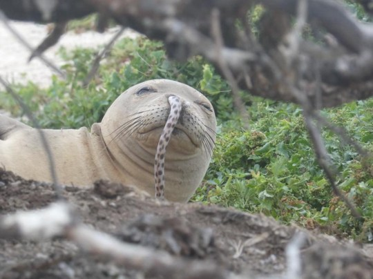 Monk seal spotted with eel stuck up its nose. METRO GRAB taken from: https://www.facebook.com/HMSRP/photos/a.645951835444837/2534312423275426/?type=3&theater Credit: Hawaiian Monk Seal Research Program/Facebook