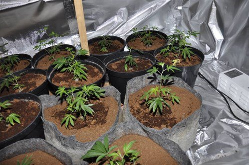 A 14-year-old boy was arrested after a cannabis factory - and a machete - was found at a house in Toxteth. The discovery was made at 11.20pm on Thursday when locals reported seeing a number of men action suspiciously outside the address. Officers descended on the property on Ritson Street and uncovered a cannabis farm of 72 plants, along with a weapon, although it not clear what this was used for. A 20-year-old man, from Toxteth, was arrested at the scene while a second youth, aged just 14, from Aigburth, was detained and both were taken away for questioning. Cannabis plants found at an address on Ritson Street in Toxteth