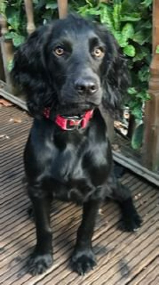 "Cocker spaniel puppy Wilfred was poisoned by heroin on a woodland walk with his owner Nick Dinsdale - A puppy died in his owner's arms just seconds after swallowing heroin dumped in woodland. Nine-month-old cocker spaniel Wilfred died after swallowing black tar heroin, an impure opiate, in Habrough Woods on Thursday. The dog's owner Nick Dinsdale said he is ""totally devastated"" after watching the young puppy keel over and die in his arms. The shocking incident, uncovered following a post mortem, has sparked a danger warning to the public and an investigation by Humberside Police. ""We went down to the woods for a walk,"" said Nick, from??North Killingholme. ""Half way round he was just bouncing about, having fun. ""We get to the middle of the woods. He came back towards me and I carried on walking. ""I look about 30 feet back and he is sat down. I thought that was unusual. I could see something was seriously wrong."