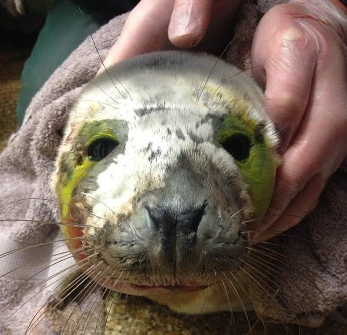 A seriously ill grey seal pup has died days after being harassed into the sea by a group of people. Help had already been called for the sick animal but it was scared into the water on a beach near Land's End, Cornwall, before rescuers arrived.