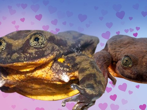 Oh good, the world's loneliest frog has found himself a date while we're still single