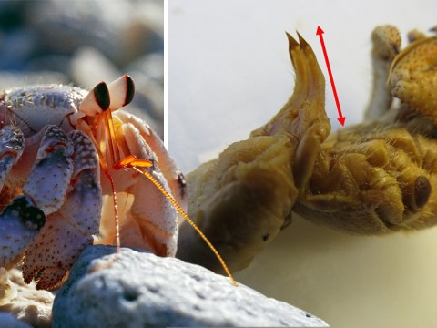 Hermit crabs grow 'extra-long penises to have sex without leaving comfort of shell'