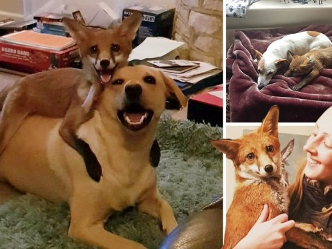 Student has her very own fox and hound – who are the best of friends
