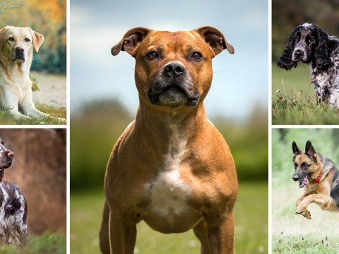 Staffordshire Bull Terriers officially named as Britain's favourite dog