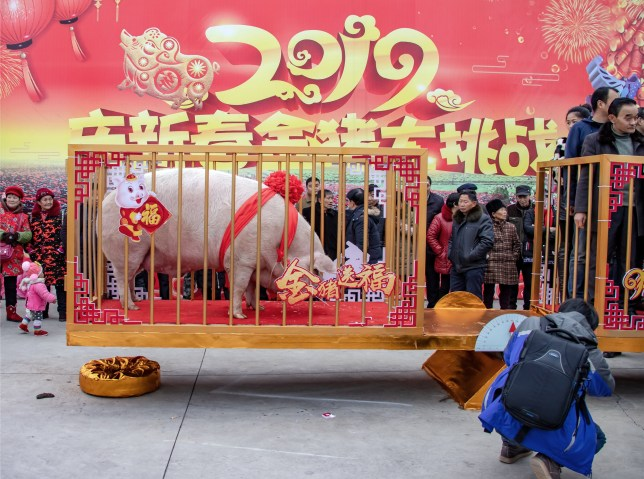 MEISHAN, CHINA - JANUARY 08: A pig weighing 940.5kg (1,881 catty) stands in a cage during a weighing ceremony at Renshou County on January 8, 2019 in Meishan, Sichuan Province of China. Nearly 200 people participated in the 940.5kg pig weighing ceremony held in Meishan on Tuesday to welcome the Chinese New Year, the Year of the Pig. (Photo by Liu Guoxing/VCG via Getty Images)
