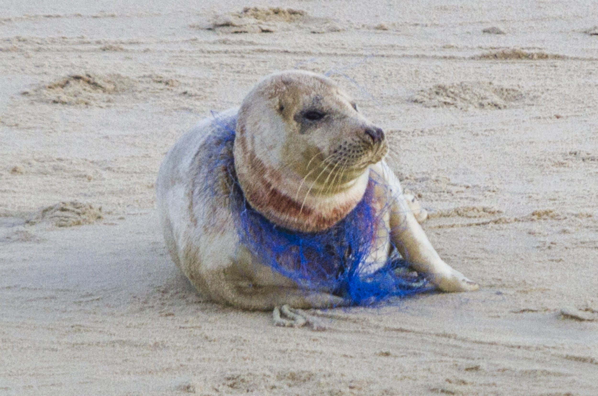 - Picture of the blooded seal on Winterton-on-Sea with netting round it neck. TRIANGLE NEWS 0203 176 5581 // contact@trianglenews.co.uk By Rosaleen Fenton A distressing photo has emerged of a bloodied female seal found on the Norfolk coast with plastic netting wrapped tightly around its neck. Volunteers are attempting to rescue the Atlantic Grey who is becoming weaker and weaker but her future remains uncertain. Local photographer Paul Macro took the picture on a long zoom lens at Winterton-on-Sea and urged people to pick up discarded plastic along the coast. *Full copy filed via the wires/Triangle News*