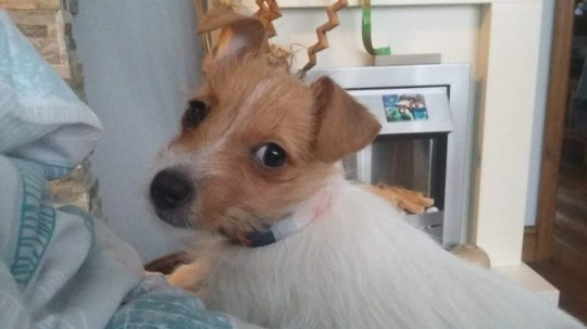 Police are appealing for information following the theft of a Jack Russell Terrier puppy in Crewe. At 1pm on Friday 4 January police were called to reports of a theft of a Jack Russell Terrier puppy on Badger Avenue in Crewe. The victim was walking from Barnabus Avenue to Badger Avenue when a male grabbed the lead of the dog and ran away towards the playing fields at Crossroads.