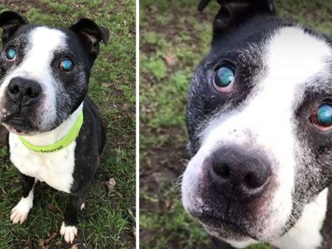 Elderly blind Staffie abandoned and left to roam the streets