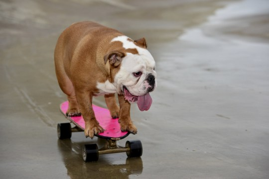 """Dog lover Debra Chandler, 33 from Ashby-de-la-Zouch has a 14-month-old British bulldog named Pumpkin, who has been honing her skills on a skateboard since she was a pup. See SWNS story SWMDdog. A talented pet bulldog has become an internet sensation after videos of her SKATEBOARDING attracted thousands of views online. Owner Debra Chandler, 33, says her beloved pooch Pumpkin has proved to be a """"complete natural"""" at the action sport since taking it up as a puppy. The 14-month-old dog has self-taught itself how to skateboard and enjoys nothing more than scooting around the streets much to the astonishment of onlookers. Debra began filming videos and taking pictures of Pumpkin riding around near her home in Ashby-de-la-Zouch, Leics., and posted them on social media. Since then, Pumpkin has become an online hit with videos of her in action being viewed thousands of times."""