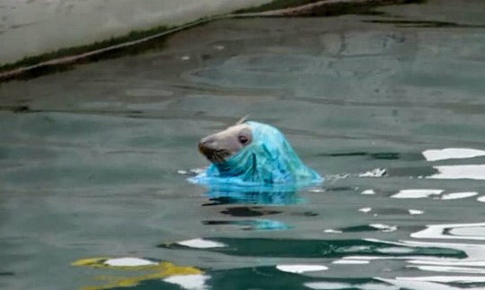 "A seal emerges with a blue plastic bag on its head. See SWNS story SWPLseal; Outrage as seals become caught in plastic bags at Brixham harbour, Devon. The photograph was taken by Martyn Cannan, who said he had been watching the seal happily playing in the harbour before it emerged with the blue bag over its face and struggling for 10 to 15 minutes. Martyn, from Paignton, said: ""I took the picture because we were debating what to do and I was going to send it to the Cornish Seal Sanctuary at Gweek and ask them for advice. It was obviously bothering him but after 10 to 15 minutes or so he managed to free himself."