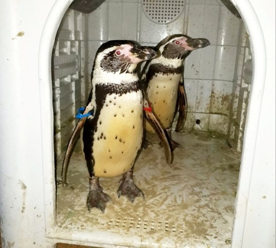 Officers p-p-picked up a pair of penguins in Strelley Village, Nottingham, after they were reported stolen from a zoo. See SWNS story SWMDpenguins. Rather than let it turn into a cold case, officers acted quickly on a tip-off that a pair of Humboldt penguins that had been taken in November and were now believed to be residing in Notts. After making enquiries they recovered the birds (pictured) safe and well on Wednesday afternoon and returned them to the zoo. A 23-year-old man was arrested on suspicion of burglary and theft.