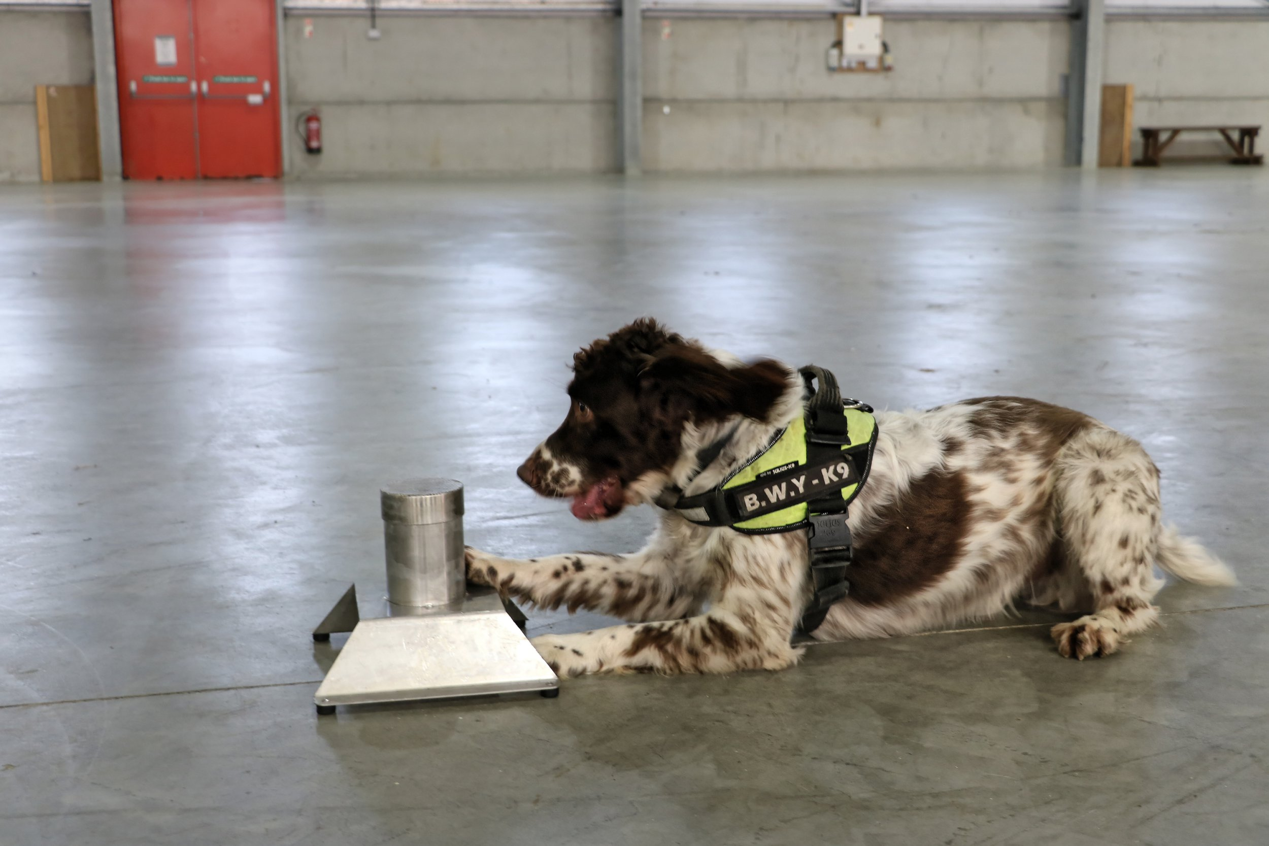 COPY BY TOM BEDFORD Pictured: Scamp the sniffer dog. Re: A tobacco sniffer dog has a ?25k bounty on its head according to its owner in Pembrokeshire, Wales, UK. During his five year career, Scamp the springer spaniel has sniffed out ?6 million worth of illegal tobacco, thanks to his powerful sense of smell and natural hunting instincts. Owner Stuart Phillips said Scamp?s success rate at sniffing out illegal tobacco hauls means he poses a big threat to the criminals who smuggle in and sell the goods. ?We had to stop working in one part of the country last year, because there was a ?25,000 bounty put on his head,? said Stuart. ?It was believed to be linked to an organised crime group and the relevant authorities were informed. ?I?ve also had death threats, my windscreen has been smashed and my tyres slashed,? he added. ?It?s understandable really, when you?re upsetting some really nasty people.?
