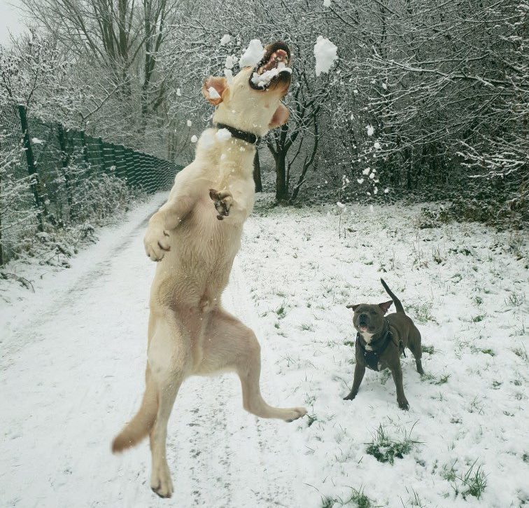 Dogs in snow weather https://twitter.com/Frazz_er/status/1090612214728413185 Manchester, England Credit: Frazz_er