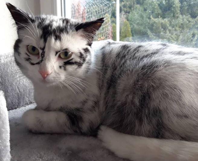 vitiligo kitten Elli sits in front of a window