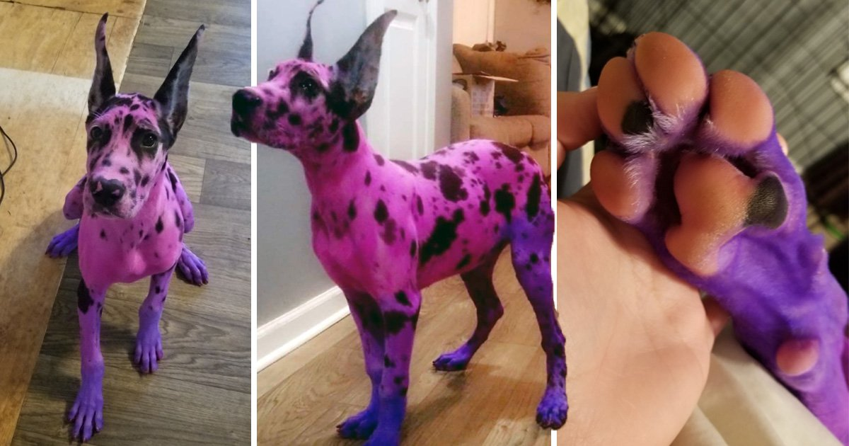 Mum dyes her Great Dane pink and purple to make her more 'approachable'