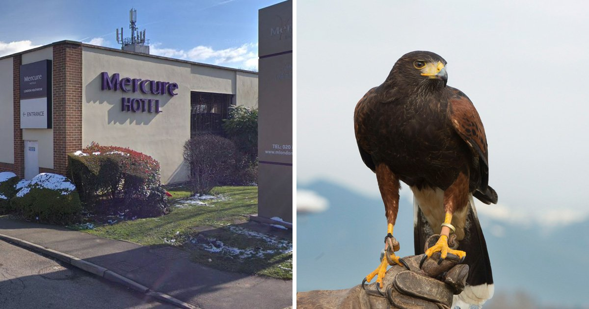 Hawk that scares nuisance birds from Heathrow stolen by gang
